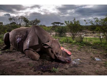 [Brent Stirton, Memorial to a species; © Brent Stirton]